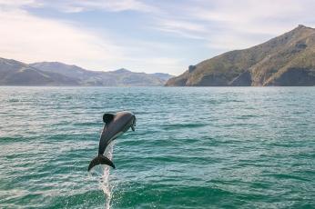 Hector Dolphin in Akaroa, New Zealand