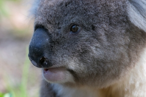 koala, Timboon Australia