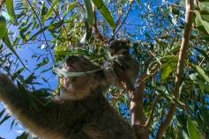 koala, Tower Hill Australia