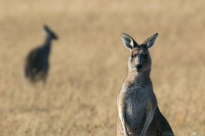 Kangaroo portret